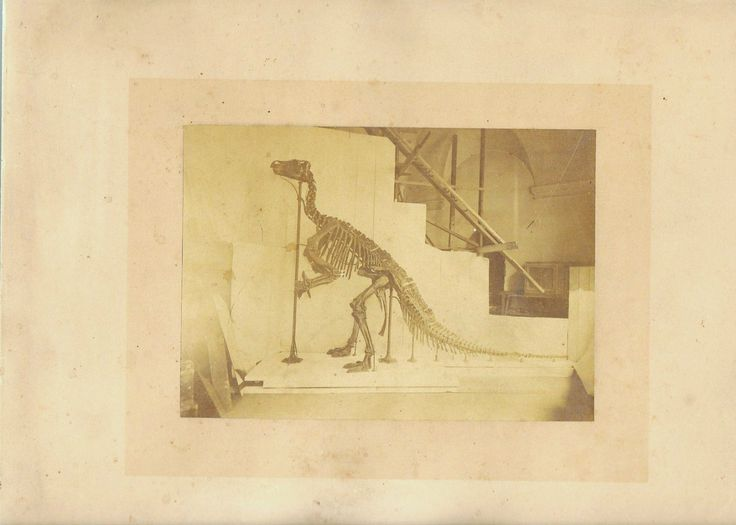 Print of Iguanodon bernissartensis. Mounted by Dollo in 1885.