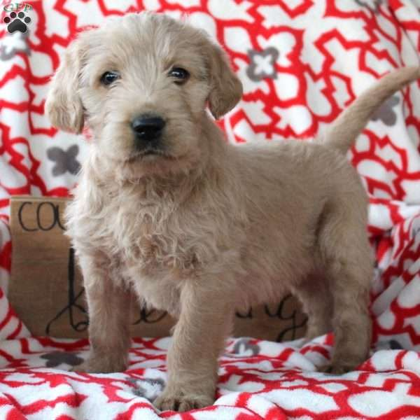 Gavin Labradoodle Puppy For Sale In Pennsylvania Labradoodle Puppy Labradoodle Labradoodle Puppies For Sale