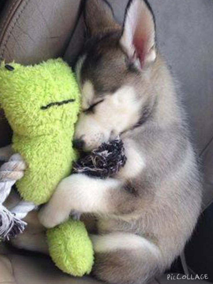 Here is your daily dose of extreme Husky cuteness!