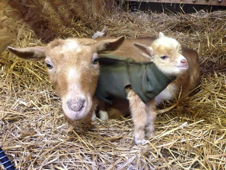Homemade sweater for my goat kids using the sleeve of a sweatshirt.  #nigeriandwarfgoats  www.wonderwhyfarm.com