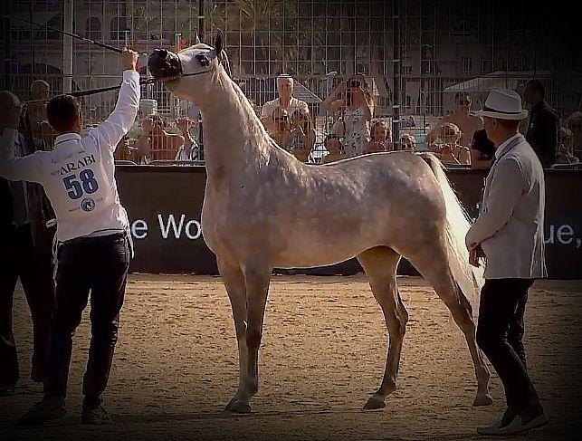 بطولة المهرات منتون الدولية ٢٠١٨ الذهب دي عجايب ار اف فريد X ليدي فيرونيكا لمربط دبي الفضة رشيدة الخشاب إي كي اس اليه Horses Arabian Horse Animals