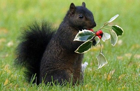 Black squirrel--Mystery unearthed: Genetic tests have revealed that the British black squirrel  is a descendant of the American black  Read more: http://www.dailymail.co.uk/sciencetech/article-1124422/Squirrels-dark-legacy-How-black-variety-descendants-rogue-American-rodent.html#ixzz31duiLX2z  Follow us: @MailOnline Pics on Twitter | DailyMail on Facebook