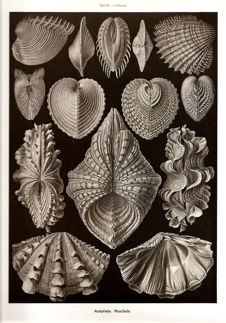 Ernst Haeckel Art Print Beautiful Colored Book Page PLATE 55 and 56 Beautiful Large Ocean Sea Shells in Black and White and Crab, Ocean Life and Nature