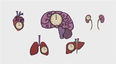 El ritmo circadiano está regido por múltiples relojes internos.