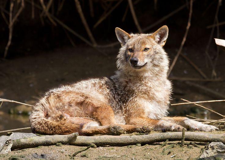 Der Goldschakal (Canis aureus) ist eine eng mit dem Wolf verwandte Art der Hunde. Er verbreitet sich aus dem nahen Osten immer mehr auch ins nördliche und westliche Europa. Der Klimawandel begünsti…