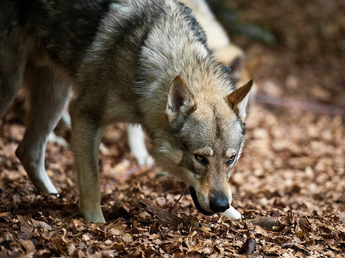 Awesome Czechoslovakian Wolf Dogs Tschechoslowakischer Wolfshund