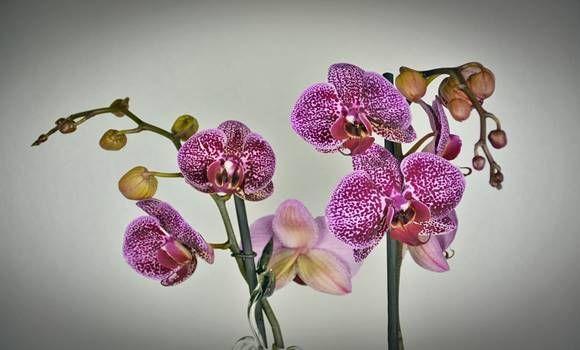 Szeretnéd, ha többet virágozna az orchideád? Mutatunk 6 trükköt minden orchidea tulajdonosnak!