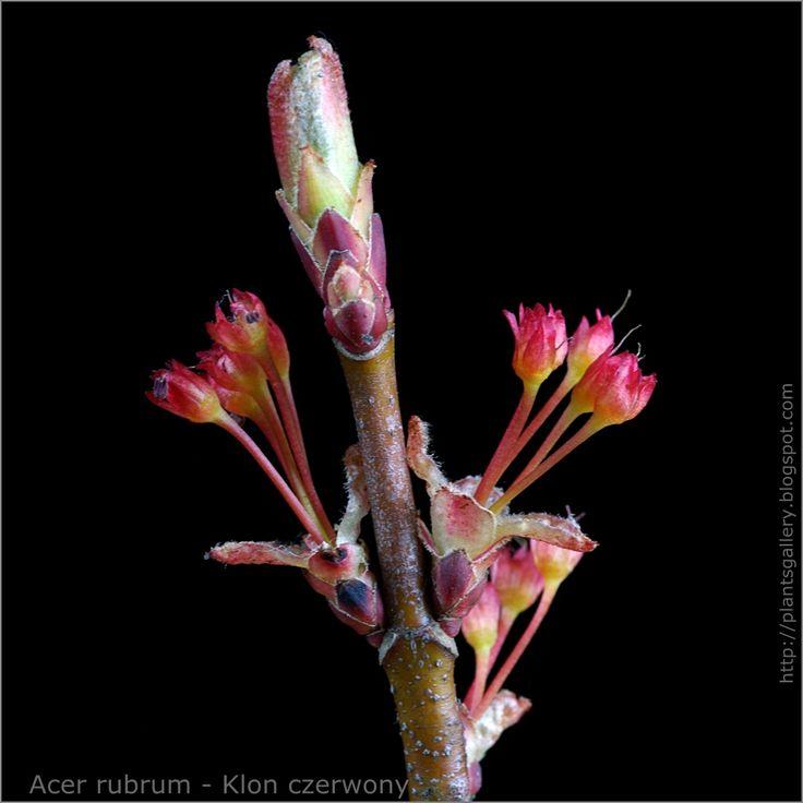 https://flic.kr/p/9DA5eg   IMGP4032   plantsgallery.blogspot.com/2008/04/acer-rubrum-klon-czerw...