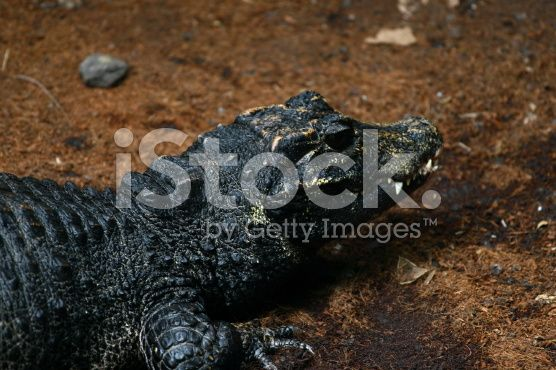 Dwarf Crocodile - Calgary Zoo royalty-free stock photo