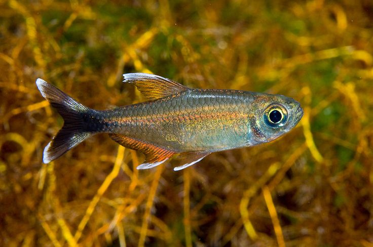 1000 images about characidae on pinterest south america for Small freshwater aquarium fish