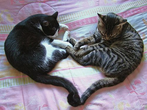cute!: Cats, Animals, Valentines, Pets, Things, Kitties, Kitty, Cat Heart