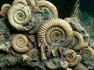 Ammonites were free-swimming molluscs that occupied the ancient oceans. They existed between about 400 million years ago and 65 million years ago