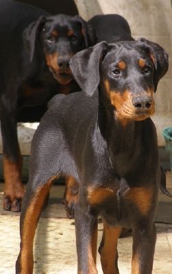 Doberman Pinscher Loyal And Fearless Doberman Love Doberman