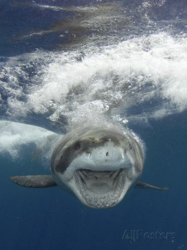 Great White Shark (Carcharodon Carcharias), Guadalupe Island, Mexico, Eastern Pacific Ocean