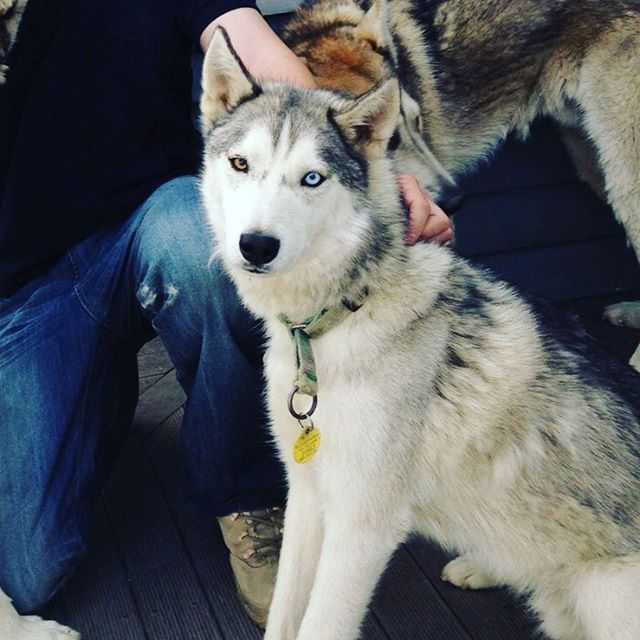 Those eyes though! My brother hanging with these beautiful creatures today. #husky #beautiful #wild #dogs #wolf (at Darfield, New Zealand)