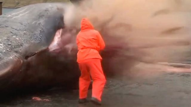 This disgusting video captured in the Faroe Islands shows an exploding whale carcass which was caught on camera. The footage, which was filmed on Tuesday, sh