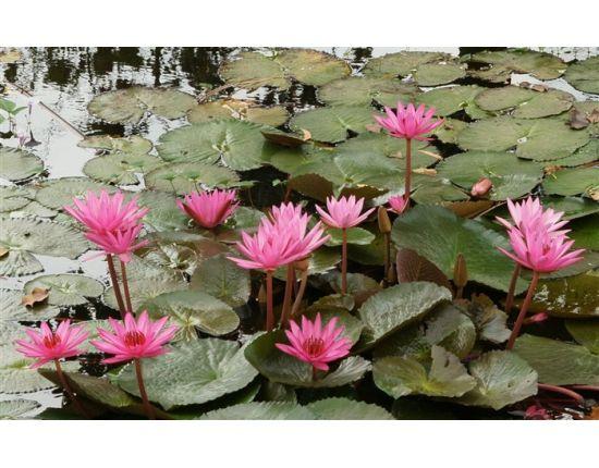 лотос — Рамблер-Поиск | Лотос, Цветы, Картинки