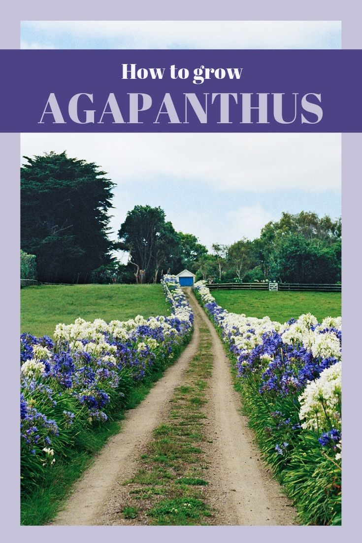 Agapanthus How To Grow And Care For Agapanthus Australian Garden Agapanthus Plant