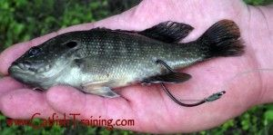 how to hook live bait for tiger fish