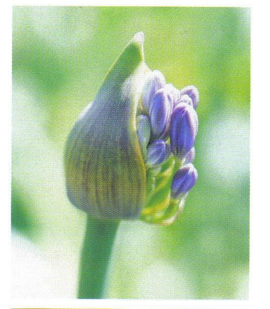 Images about agapanthus on pinterest google argentina and flower
