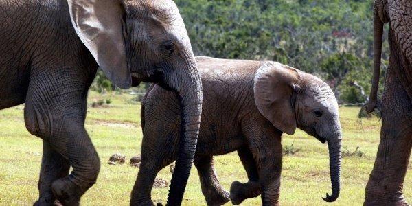 Gli elefanti stanno nascendo senza zanne per proteggersi dal bracconaggio (PETIZIONE)