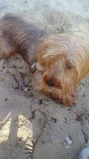 Χάθηκε σκυλάκι ράτσας γιορκσάϊρ, 8 ετών που ακούει στο όνομα Λόλα στον Περαία, Κρήτης 8.