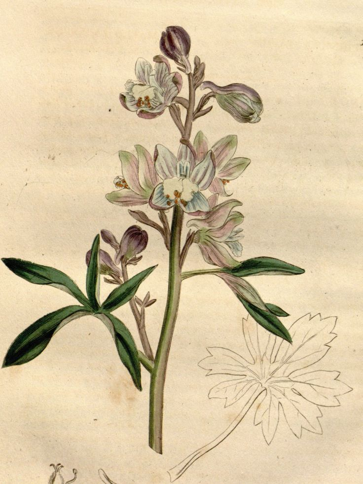 Stavesacre, Lice-bane - Delphinium staphisagria - A medicinal plant well known to the ancient Greeks and Romans - 1832