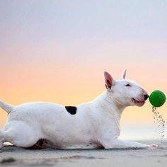 Don't Worry BEACH Happy #365dagenzomer #LiveForTheStory #clairethebullterrier #zoomnl #livesabeach #beachday #sunsetsky #bullterrierlove #bullterrierpics #dogphotography #dogsofsummer