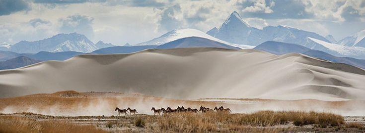 Tibetan wild donkeys