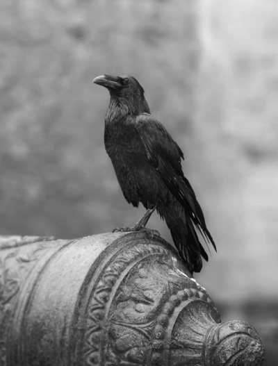 crows nerve fails ted hughes Ted hughes the martyrdom of bishop ferrar  crow's nerve fails by ted hughes crow, feeling his brain slip, finds his every feather the fossil.