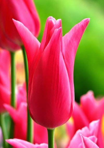 Sweet Tulip ~ Stunning nature