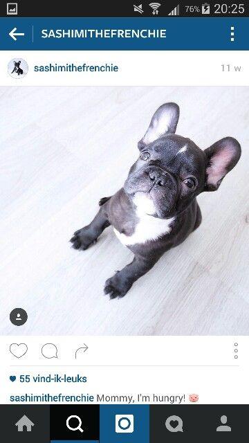 Franse bulldog (zwart/wit)