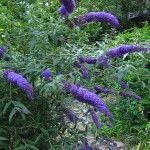 Butterfly Bush care instructions.  How and when to prune.