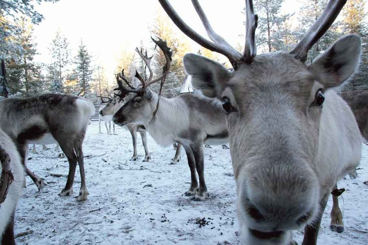 Say cheese! Get up close & meet some of my 'off-duty' reindeer at Santa's #Lapland