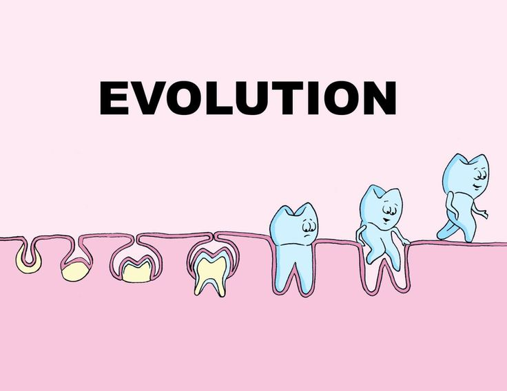 The Evolution Of Teeth Growth