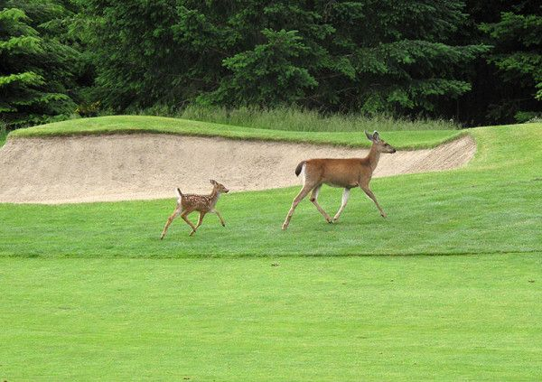 Our little fellow is now up-and-at-em with mom on the course.  Deer are a common visitor on our range.