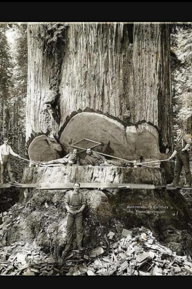 Early 1900s: California lumberjacks cutting down Redwoods  by hand. They had no knowledge or appreciation of the age of these giants - thousands of years.