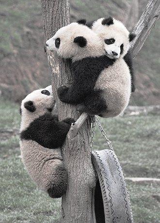 детеныши большой панды / small giant panda