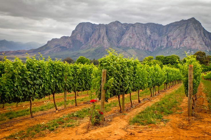 Vineyard Stellenbosch SouthAfrica