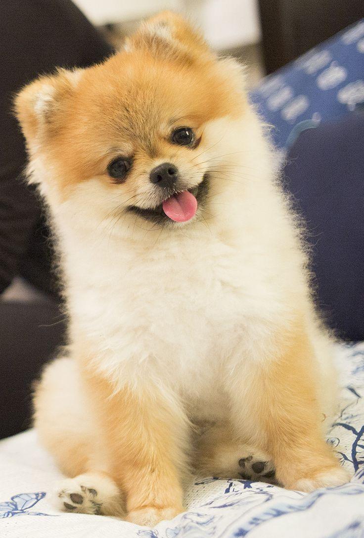 My adorable Pomeranian! Photo by Mark Tomaras