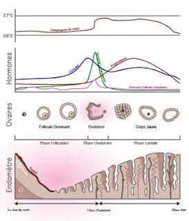 Le cycle menstruel et la fertilité chez la femme.