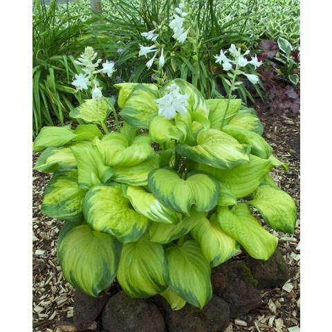 "hosta guacamole; fragrant; light and dark green leaves; 18""-20"" tall, 26""-28"" spread"