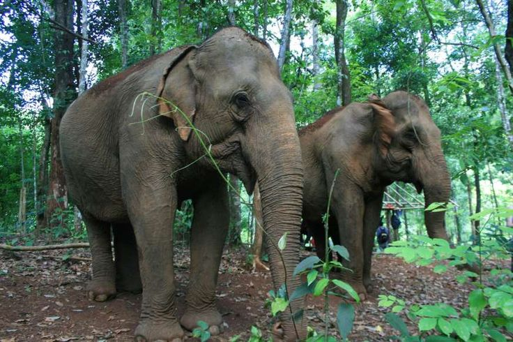 The Mondulkiri Project aims to act as a sanctuary for Indian elephants that previously worked for timber companies or as attractions in the tourists hub of Siem Reap.