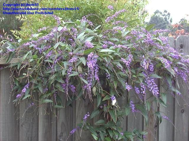 Australian Sarsparilla, False Sarsaparilla, Happy Wanderer, Coral Pea, Lilac Vine (Hardenbergia violacea) 2 years old