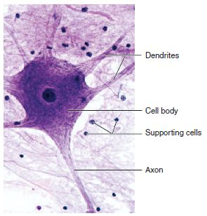 Nervous tissue is specialized for electrical and chemical signals to communicate. Neurons are the communication cells, with neuroglia as supporting cells. Nervous tissue is found in the brain, the spinal cord, the nerves and the ganglia.