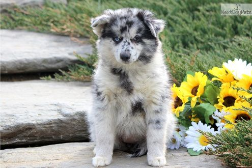 Available Pomsky for sale