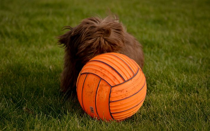Download wallpapers Bobtail, brown puppy, ball, breeds of long-haired dogs, cute animals, small dog