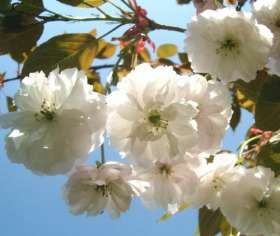 Fragrant Cloud Japanese Flowering Cherry Plants - Chris Bowers