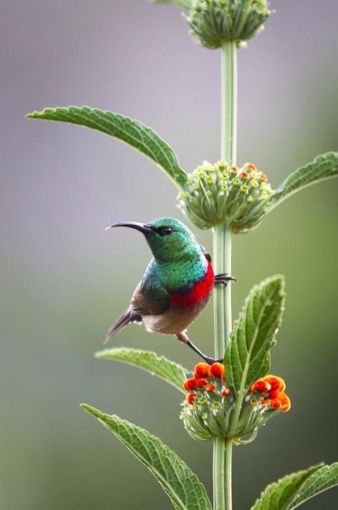 Delightful picture of Hummingbird on Leonotis Leanora (Lion's Ear)❤️
