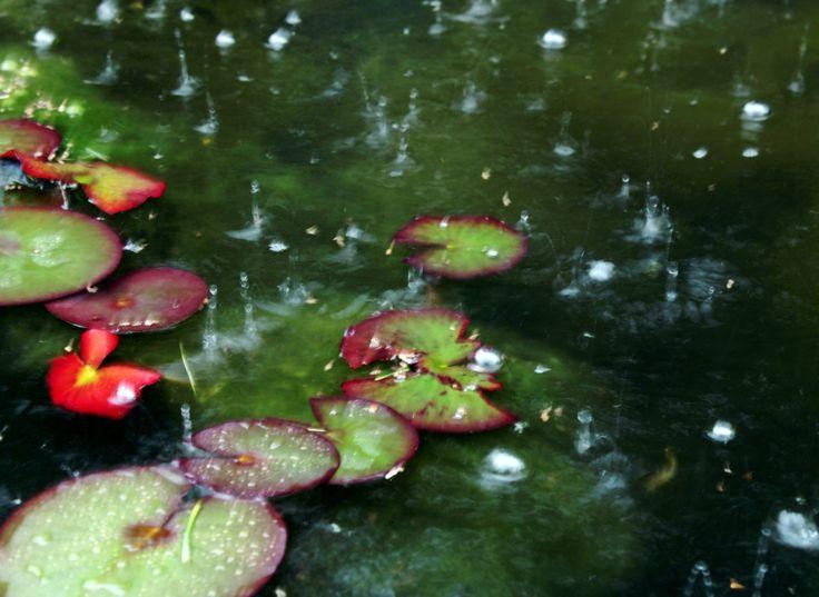 #eső #tavirózsa